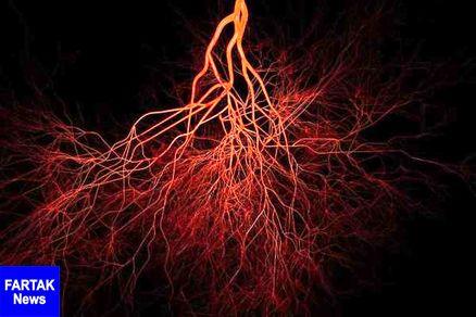 کشف نوعی شبکه مویرگی در استخوانهای بلند