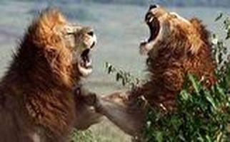 جنگ خونین ۲ شیرنر خشمگین با یکدیگر