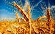 تولید گندم مقاوم به خشکی از سوی محققان کشور