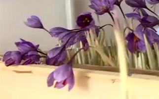 تولید زعفران، بدون آب و خاک! + فیلم