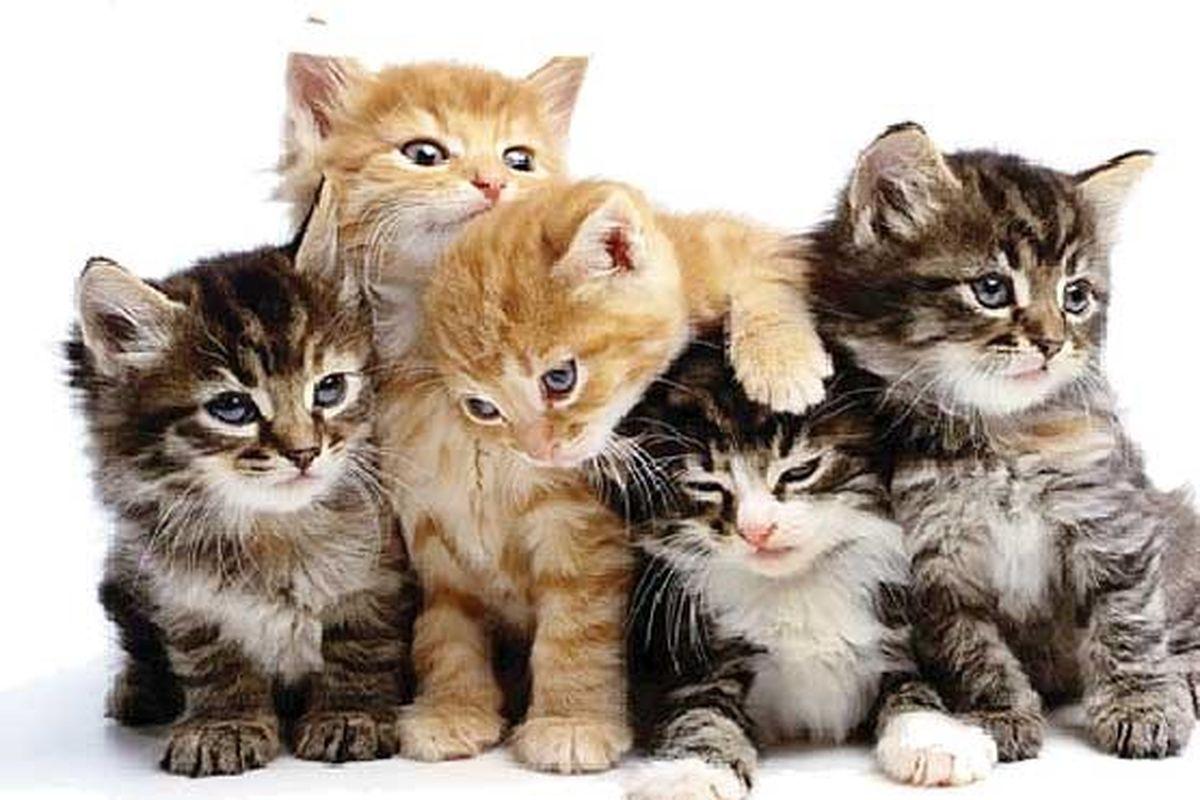 واکنش یک مسئول به شایعه استفاده از گوشت گربه در فرآوردههای گوشتی