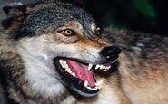 وحشت در اسفراین به خاطر گرگ گرسنه