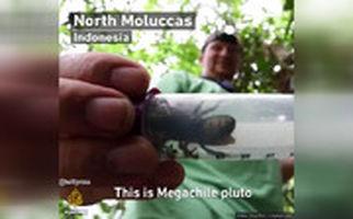 کشف بزرگترین زنبور جهان در اندونزی