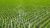 لغو ممنوعیت کشت برنج