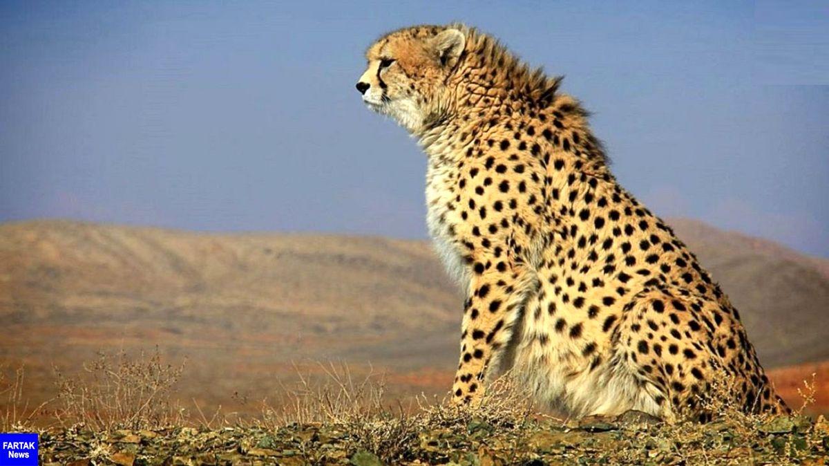مشاهده یوزپلنگ ایرانی در خراسان شمالی برای سومین بار در سال