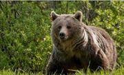 حمله خرس به شهروند نیکشهری