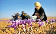 نرخ خرید زعفران، ۲۰میلیون تومان!