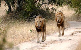 وحشت رانندگان از پرسه شیرهای سرگردان در جاده! +فیلم
