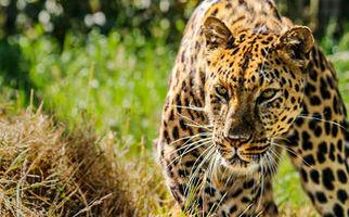فیلم/ حرکت آکروباتیک پلنگ برای شکار آهو