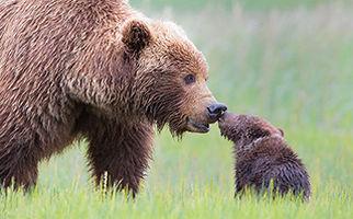 نجات توله خرس در مقابل چشمان نگران مادرش + فیلم