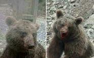 مدیرکل پدافند غیرعامل استانداری مازندران: کشتار توله خرس قهوه ای در سوادکوه ناراحت کننده بوده است