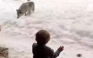 ویدئویی باورنکردنی از نزدیکی گرگ به خانه یک شهروند در کبک کانادا