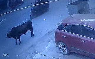 عاقبت زندگی مشترک با گاوها در هند + فیلم