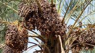 ۸۵ هزار تن محصول خرمای کرمان بر اثر خشکیدگی خوشه خرما از بین رفت