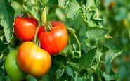 روزانه 1000 تن گوجه در نهاوند برداشت میشود