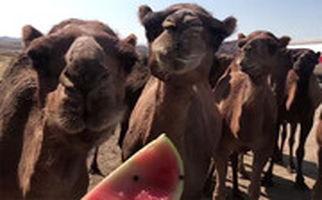 گله شترها در میانه تبریز زنجان چه می کنند؟