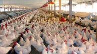 قیمت مرغ گران میشود؟