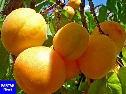 مدیر جهاد کشاورزی شهرستان مرند: مرند قطب تولید زردآلو در کشور است