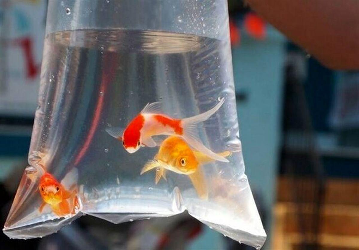 ماهی قرمز شب عید ناقل کرونا نیست