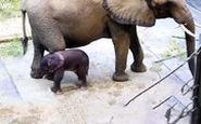 تولد یک بچه فیل حاصل از لقاح مصنوعی