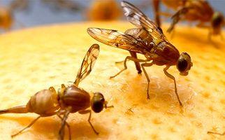 بعد از ملخ و پروانه نوبت به مگس ها رسید/ ماجرای هجوم مگسهای مدیترانهای به تفت چیست؟