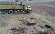 مرگ مرد اردبیلی بین 40 گوسفند!