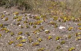 هجوم یک میلیارد ملخ صحرایی به استان هرمزگان
