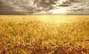 کشت پاییزه گندم در کشور به صورت نمادین در بوکان آغاز شد