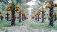 قیمت خرما در خوزستان تعیین شود/ نخلداران نگرانند