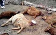 گرگ های گرسنه 9 گوسفند را دریدند