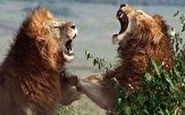 جنگ خونین ۲ شیر نر خشمگین با یکدیگر