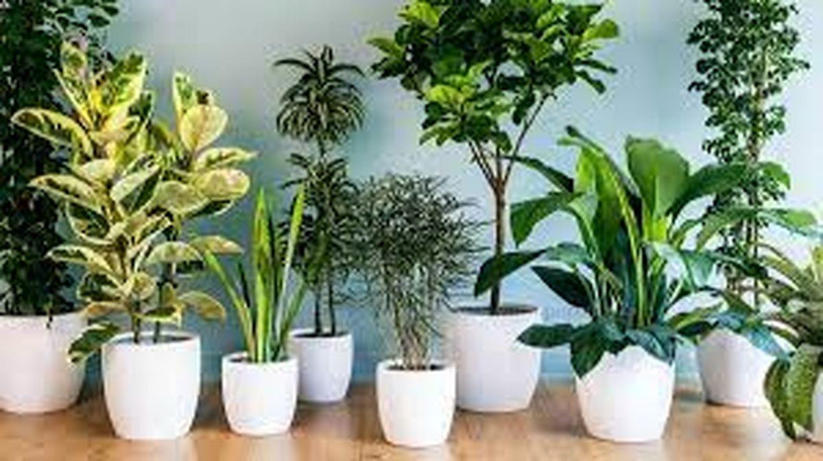 این گیاهان آپارتمانی برای سلامتی مفید هستند