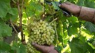 گلخانه ۱۰۰۰ هکتاری در استان قزوین احداث میشود